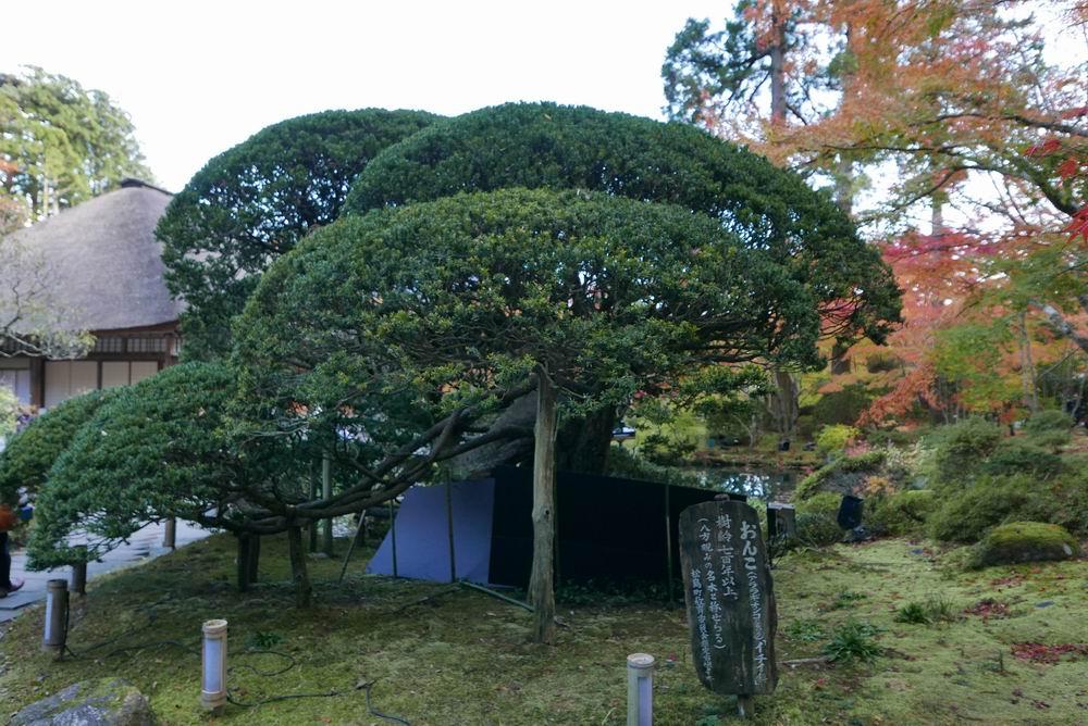 円通院の紅葉の池の脇の「おんこ」の木