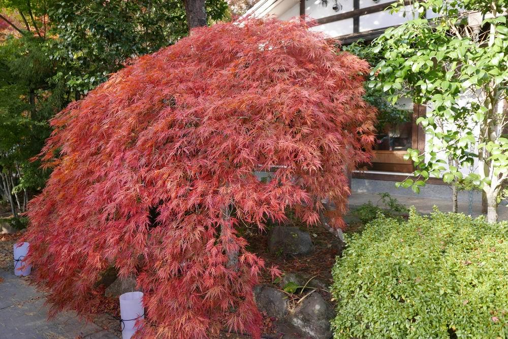 円通院の紅葉の写真モミジの赤がとても綺麗!