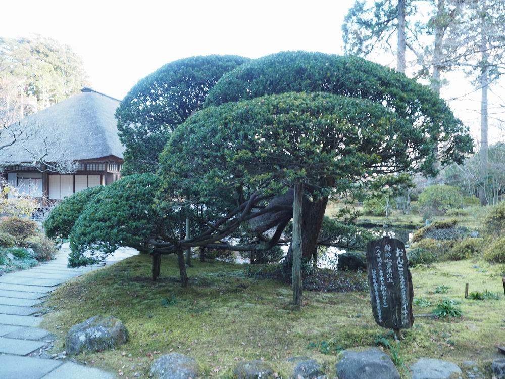 初冬のおんこの木の画像
