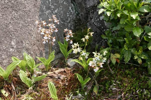 エビネ蘭の写真画像