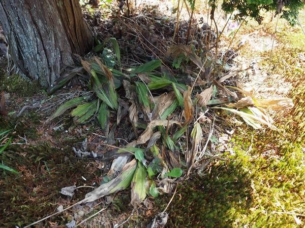 エビネ蘭の春の状況写真
