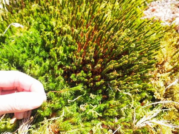 庭の杉苔の風景写真