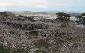 西行戻しの松公園の桜の風景