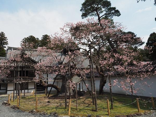 松島瑞巌寺の臥竜紅梅の写真
