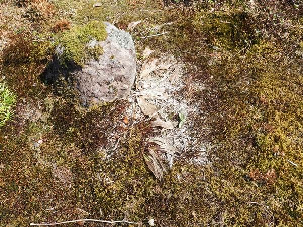 雪解け後のエビネの状態写真
