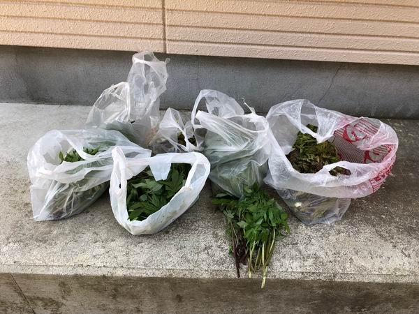 山菜しどけの集荷状況の写真