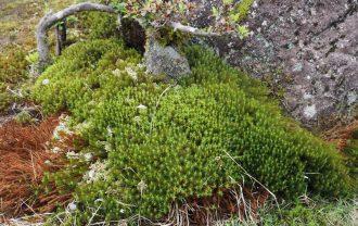 庭の杉苔の群生状況
