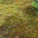 我が家の庭の杉苔の写真