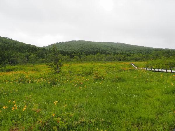 世界谷地原生花園のニッコウキスゲとワタスゲの写真