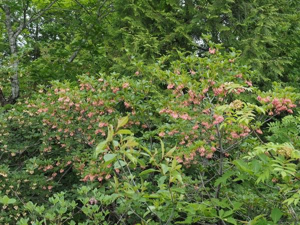世界谷地原生花園のサラサドウダンの写真