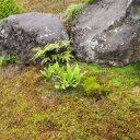 庭のイワヒバと杉苔の風景写真