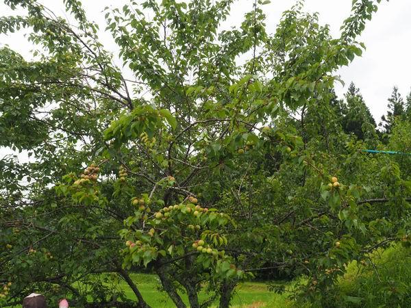 梅干しの梅の木1