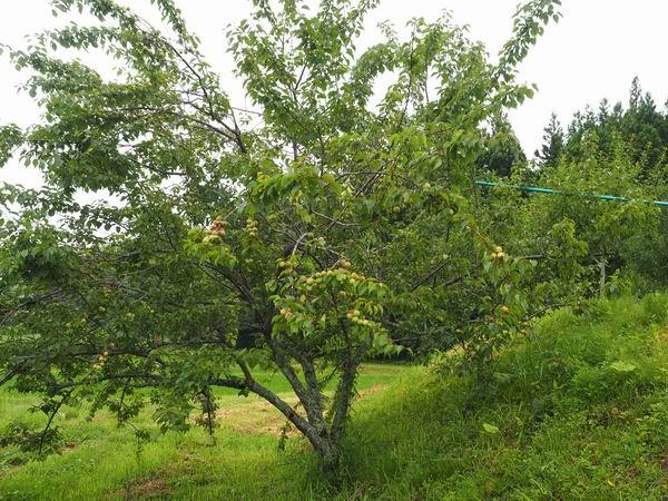 梅干しの梅の木2