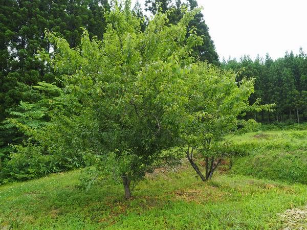 梅干しの梅の木3