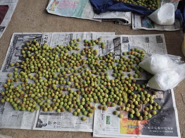 収穫した梅の乾燥状況